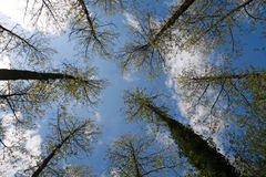 Trees and sky. Looking up at trees and blue sky stock photography