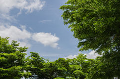 Trees with sky. Background in daytime royalty free stock photo