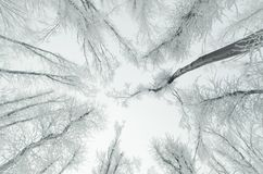 Trees in frozen forest with hoarfrost royalty free stock image