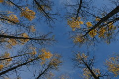Trees and sky. Trees in the forest reaching for the sky royalty free stock photos