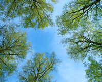 Trees and sky. Green trees and blue sky royalty free stock images