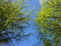 Trees and sky. Leaves of trees against a blue sky Stock Photo