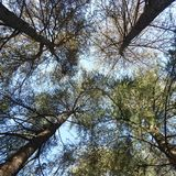 Trees and sky. Looking up to the trees and sky Royalty Free Stock Images