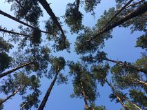 Trees. Sky pines summer Bryansk Royalty Free Stock Photography