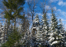 Trees and sky after snowstorm Royalty Free Stock Images