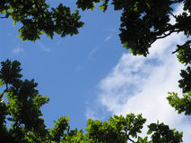 Through the trees skyward. Oak leaves frame a blue sky with just a little cloud - copyspace stock photos