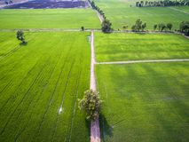 Trees and dirt roads among green rice farms royalty free stock photo