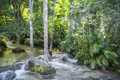 Trees in river, Jamaica stock images