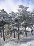 Trees in a snow. Some trees stand on a mountain slope in a snow Stock Images