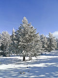 Trees in the Snow. Winter landscape with some trees covered by the snow Stock Photo