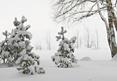 Trees in snow. Some the small pines covered with snow Royalty Free Stock Photo