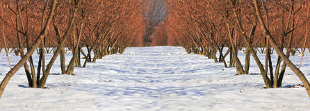 Trees on the snow. Stock Photography
