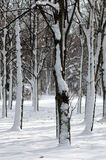 Trees in snow. Snow in park, trees in snow, silence, good day royalty free stock image