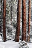 Trees and Snow Royalty Free Stock Photo