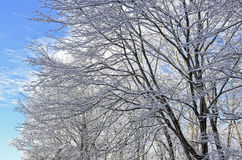 Trees with Snow Against a Blue Sky. A group of trees with snow and ice against a blue sky with clouds Royalty Free Stock Photo