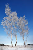 Trees  with snow against the sky Royalty Free Stock Photos