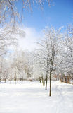 Trees in the snow in beautiful winter forest Royalty Free Stock Image