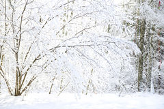 Trees in the snow in beautiful winter forest Stock Photos