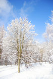 Trees in the snow in beautiful winter forest. A trees in the snow in beautiful winter forest Royalty Free Stock Photography