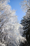 Trees in the snow in beautiful winter forest Stock Photography