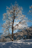 Trees in the Snow. On a bright sunny day in the Swiss Alps royalty free stock photo