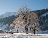 Trees in the Snow. On a clear day in the Swiss Alps royalty free stock image