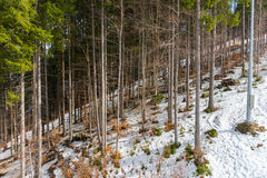 Trees in a snow-covered forest. A bunch of trees in a snow-covered forest Stock Photos
