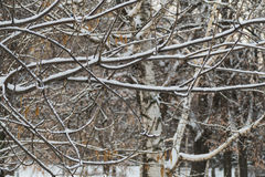 Trees in the snow in December in a park in Moscow. 2016 stock photo