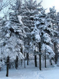 Trees after snow fall Royalty Free Stock Images