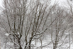 Trees while snow flurry. Winter background. Trees while snow flurry. Winter background Stock Image