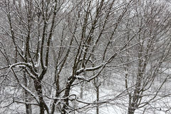 Trees while snow flurry. Winter background. Trees while snow flurry. Winter background Stock Photo