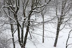 Trees while snow flurry. Winter background. Trees while snow flurry. Winter background Royalty Free Stock Photography