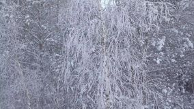 Trees in the snow. Forest. Camera movement from top to bottom stock video