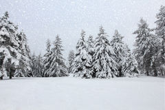 Trees in the snow in the forest in winter Royalty Free Stock Photography
