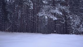 Trees in snow, light snow falls, fabulous winter forest at night. Trees in snow, light snow falls, a fabulous winter forest at night stock footage