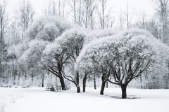 Trees in the snow in the park. Winter landscape,. Forest Royalty Free Stock Photography