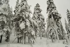 Trees in snow.Russia.Kola peninsula.2018 year. Image of winter forest.trees in snow Stock Photos