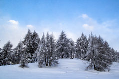 Trees in  the snow. Some trees in wintern in a snow field Stock Image