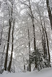 Trees in the Snow Royalty Free Stock Photography