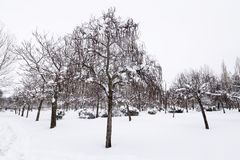 Trees with snow in their cups in a snowy park Stock Photo
