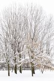 Trees with snow in their cups in a snowy park Royalty Free Stock Image