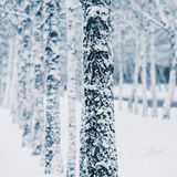 Trees in the snow Royalty Free Stock Image