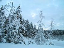 Trees in the snow. Trees under snow in the winter. Frost, snow, winter Royalty Free Stock Image