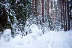 Trees in the snow in the winter forest Royalty Free Stock Photos