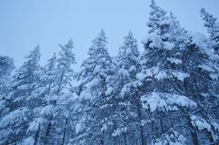 Trees in the snow in the winter forest. royalty free stock photo