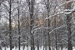 Trees in the snow in the winter forest at sunset royalty free stock image