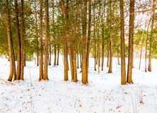 Trees and Snow in the Winter royalty free stock photos