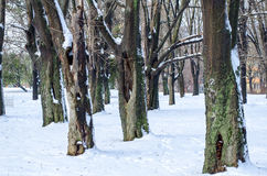 Trees with snow in winter park Stock Images