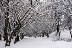 Trees in the snow. winter. Trees in the snow. Park in the winter. Snow on the ground stock photo