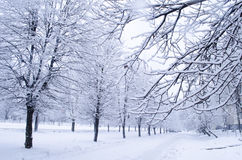 Trees with snow in winter park. A quiet winter forest landscape. Snow on the branches of a trees royalty free stock photography